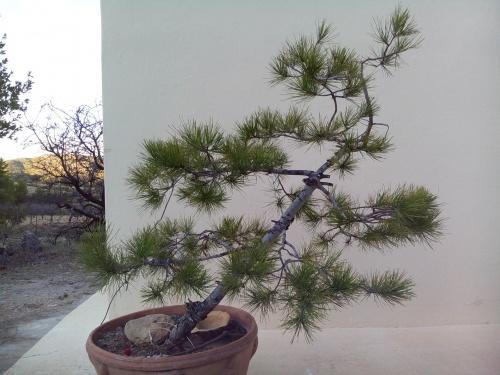 Bonsai Pinus alepensis. - Fernando ballester martinez