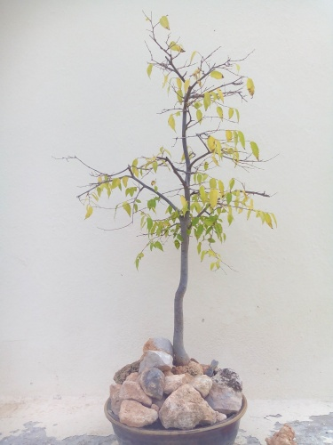 Bonsai 13847 - Fernando ballester martinez