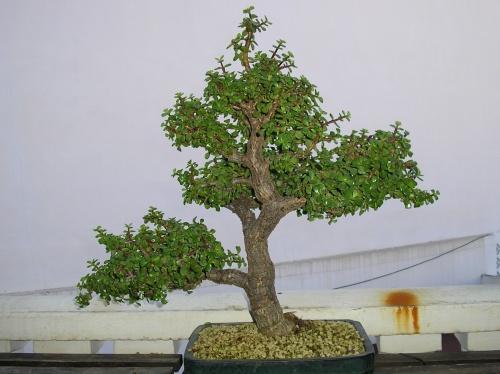Bonsai Portulacaria - nuno