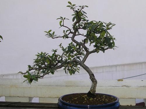 Bonsai Piracanta - nuno