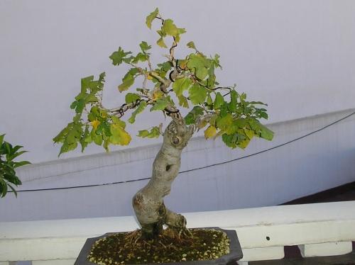 Bonsai Morera blanca - nuno