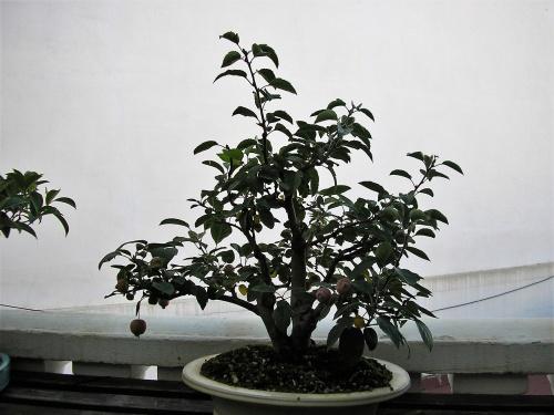 Bonsai Manzano everest - nuno