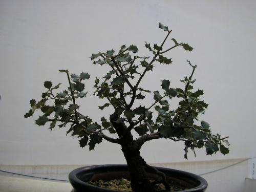 Bonsai Encina - nuno