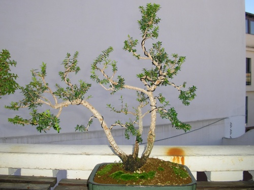 Bonsai Mirto - nuno