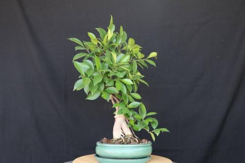 Bonsai Ficus ginseng - jrcampoamor