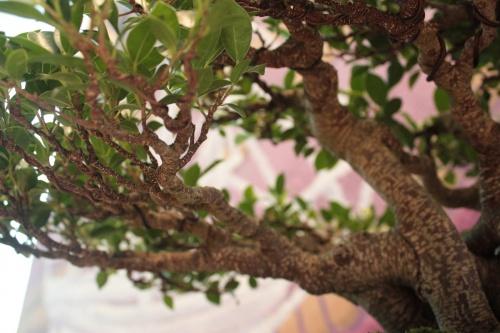 Bonsai Detalle de las ramas - Ficus de Jaume Canals - torrevejense