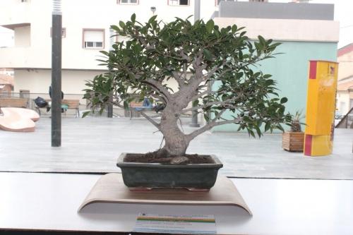 Bonsai Un ficus Retusa del Novelda Club Bonsai - torrevejense