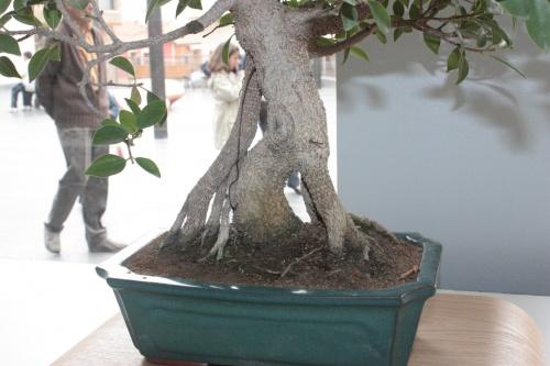 Bonsai Ficus Retusa con raices aereas - torrevejense