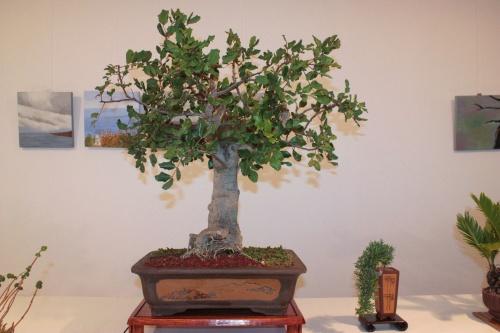 Bonsai Bonsai Algarrobo - Ceratonia Silicua - torrevejense