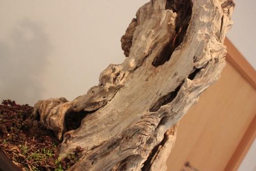 Bonsai Impresionante Tronco de Bonsai Granado - torrevejense