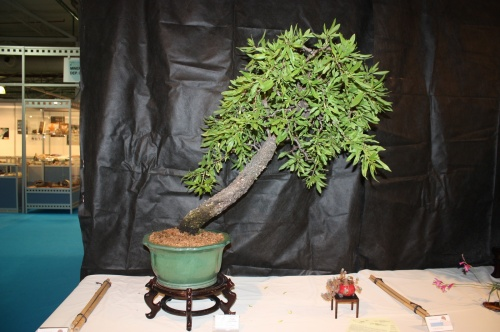 Bonsai 2151 - CBALICANTE