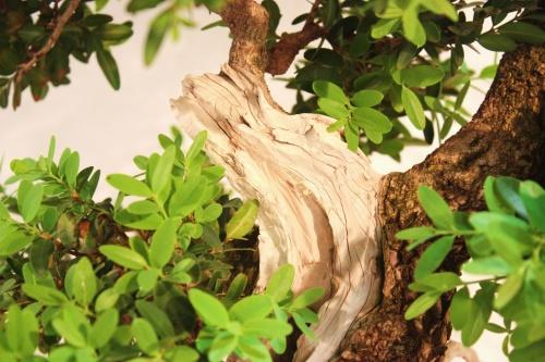 Bonsai Buxus bonsai de cerca - Juan Ortega - CBALICANTE
