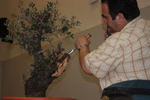 Bonsai Trabajando para disumilar el feo corte del tronco - torrevejense