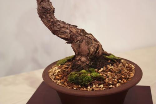 Bonsai Tronco de Pino - Fernando Gambin - CBALICANTE
