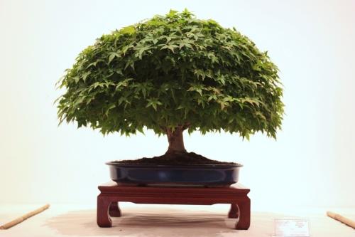Bonsai Auro - Acer Palmatum - CBALICANTE