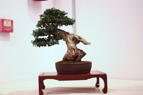 Bonsai Olea Europaea - Jose Antonio Terol - CBALICANTE
