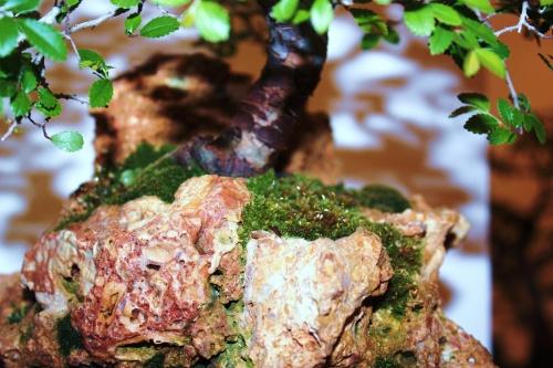 Bonsai Rocas Ulmus Parvifolia - CBALICANTE