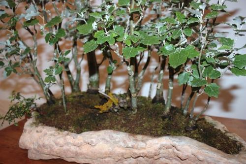 Bonsai Bosc de Xops Bonsai - CBALICANTE
