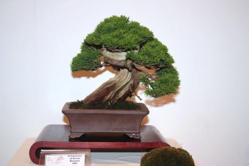 Bonsai Juniperus Chinensis - Deborah Mas - CBALICANTE