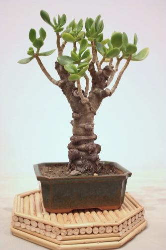 Bonsai Arbol de Jade - Crassula Arborescens - CBALICANTE
