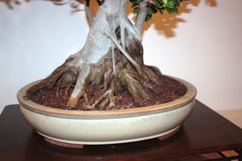 Bonsai Nebari Ficus Microcarpa - CBALICANTE