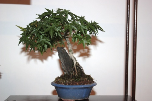 Bonsai Acer Palmatum - Juan Campo - CBALICANTE