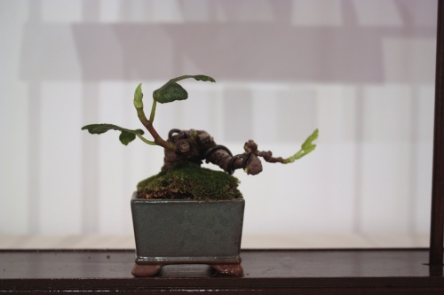 Bonsai Ficus Carica o Higuera de Juan Campo - CBALICANTE