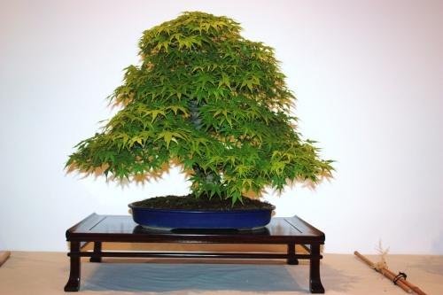 Bonsai Acer Palmatum - Auro - CBALICANTE