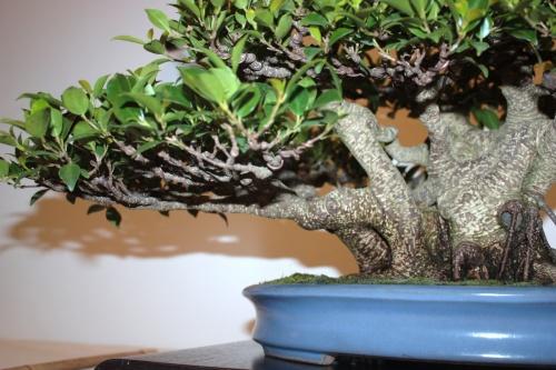 Bonsai Alambrado ramos Ficus - Jaume Canals - CBALICANTE