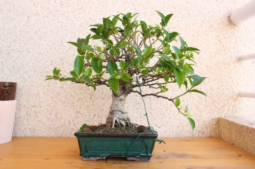 Bonsai Ficus retusa despues del defoliado - Miguel