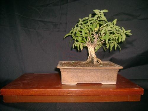 Bonsai sedron - don tonio