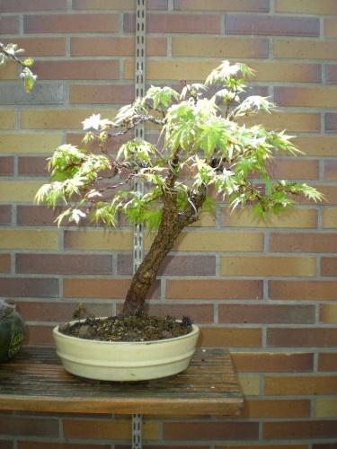 Bonsai Acer palmatum arakawa. - Sherpa