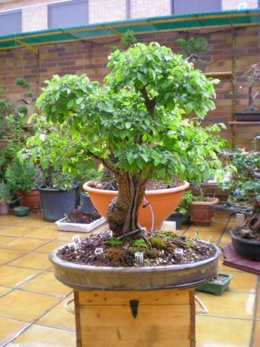 Bonsai Antes del defoliado-olmo. - Sherpa