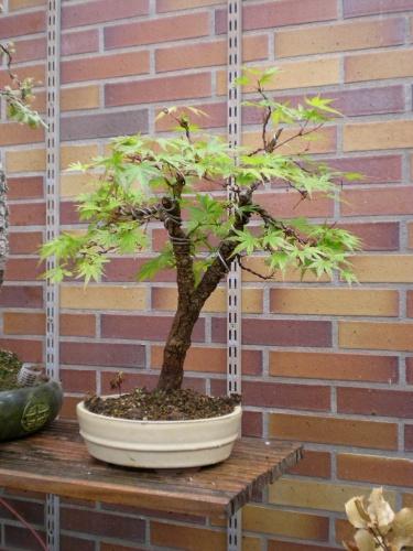 Bonsai Arce palmatum arakawa. - Sherpa