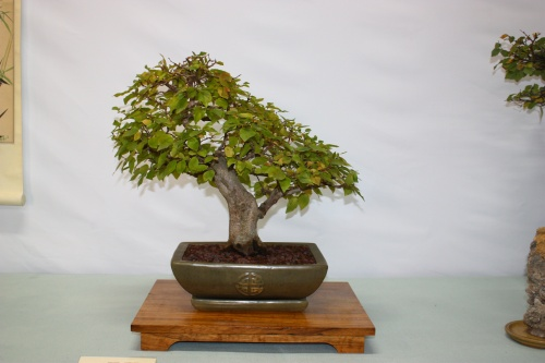 Bonsai Carpe - Carpinus de Jose Giner Satorres - Assoc. Bonsai Cocentaina