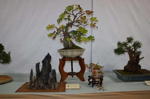 Bonsai Ficus Carica en Roca - Assoc. Bonsai Cocentaina
