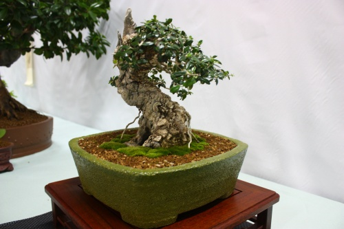 Bonsai Acebuche vista lateral derecha - Assoc. Bonsai Cocentaina