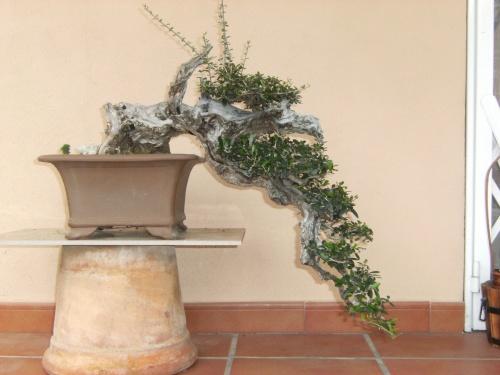 Bonsai ullastre - selletepico