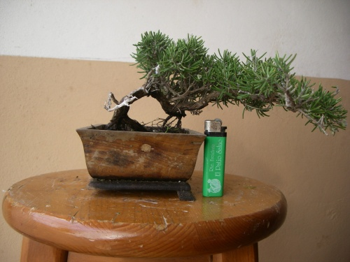 Bonsai 3903 - mihogo