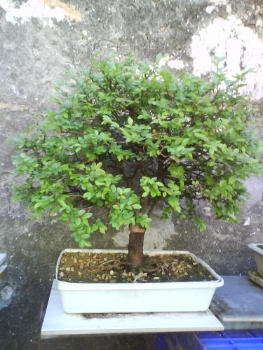 Bonsai olmo (ulmus parviflora) - javel