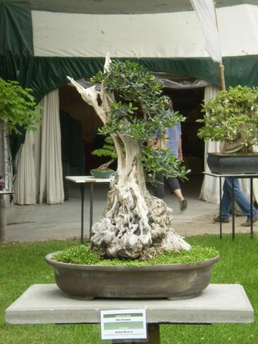 Bonsai EXPO, FELAB EN BS AS .2009 - Andres Bicocca