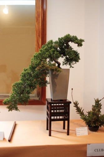Bonsai Juniperus Rigida en Cascada - Bonsai Novelda - Assoc. Bonsai Muro