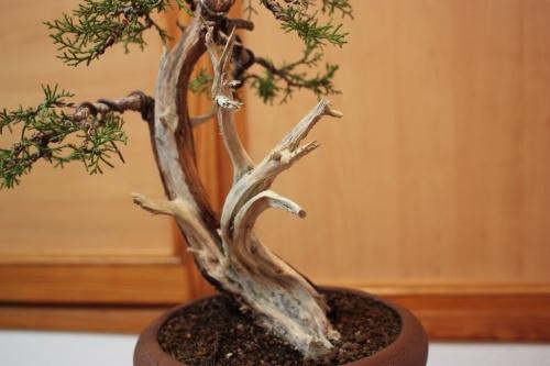 Bonsai Madera tratada sobre el Juniperus ( phonicea ) - Assoc. Bonsai Muro