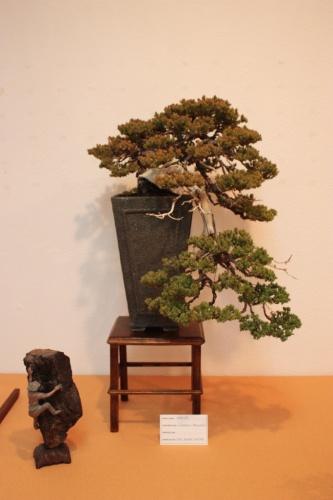 Bonsai Sabina del club bonsai Villena - Assoc. Bonsai Muro