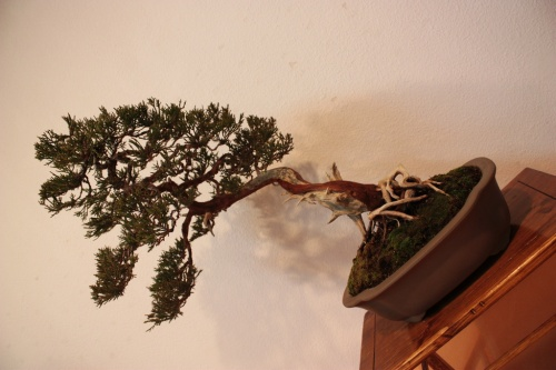 Bonsai Sabina ( Juniperus Chinensis sp ) - Assoc. Bonsai Muro