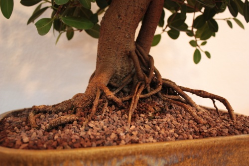 Bonsai Detalles del nebari - Ficus compacta - Paco Lopez - Assoc. Bonsai Muro
