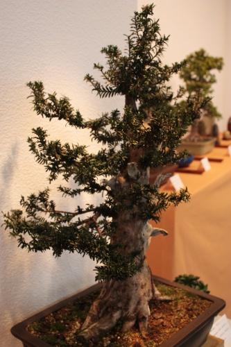 Bonsai Una foto lateral del Tejo de Ernesto Pascual - Bonsai Muro - Assoc. Bonsai Muro