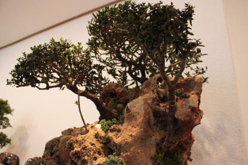 Bonsai Vicente Solbes - Un olivo sobre Roca - Assoc. Bonsai Muro