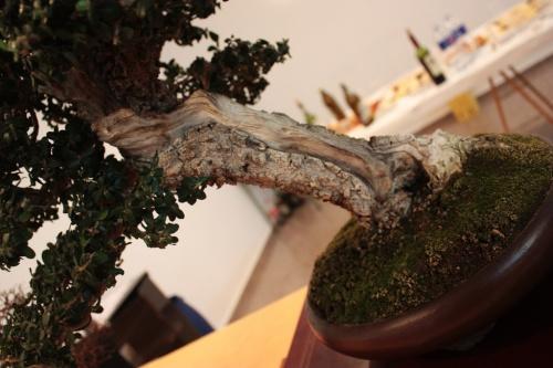 Bonsai Una foto para ver los detalles del tronco - Assoc. Bonsai Muro