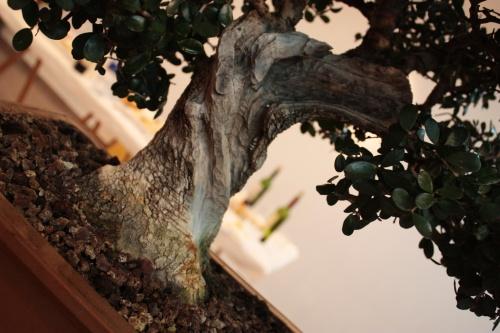 Bonsai Detalle del tallado del tronco de Olivo - Assoc. Bonsai Muro